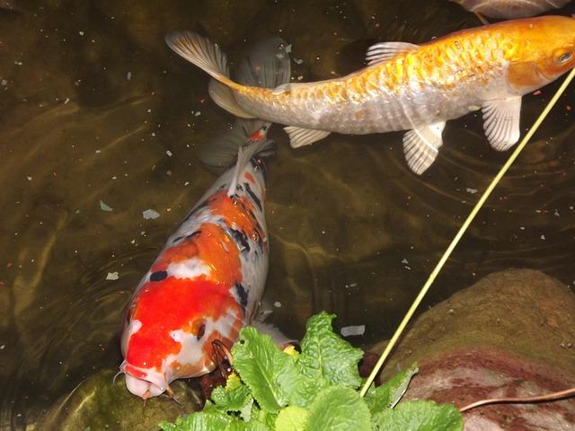 ryby v jezírku.jpg